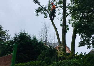 Ash Dieback Tree Removal